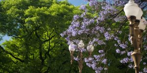 Jacaranda and Tipa trees in Plaza San Martin in Buenos Aires by Beatrice Murch
