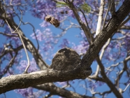 Horneo Nest among the Jacarandas