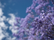 Jacaranda and Sky