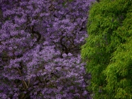 Jacarandas-por-Beatrice-Murch-002-copy